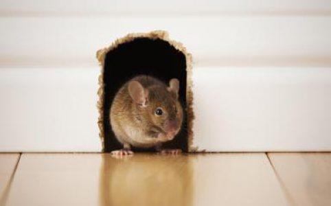 Những đặc điểm sử dụng của thuốc diệt chuột Racumin